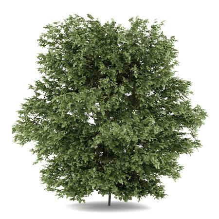 흰 배경에 고립 된 일반적인 개 암 나무