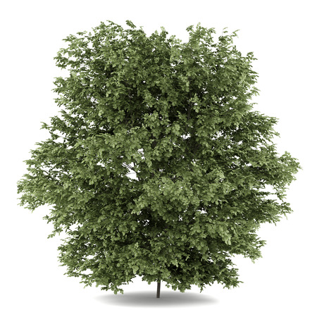 common hazel tree isolated on white background Banco de Imagens - 37157250