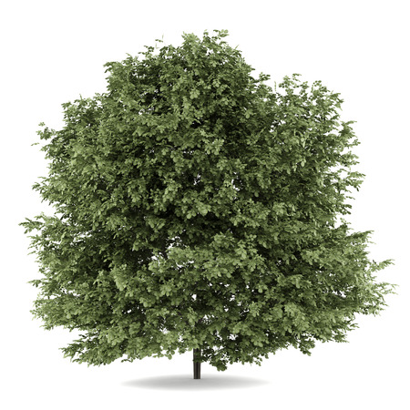 common hazel tree isolated on white background