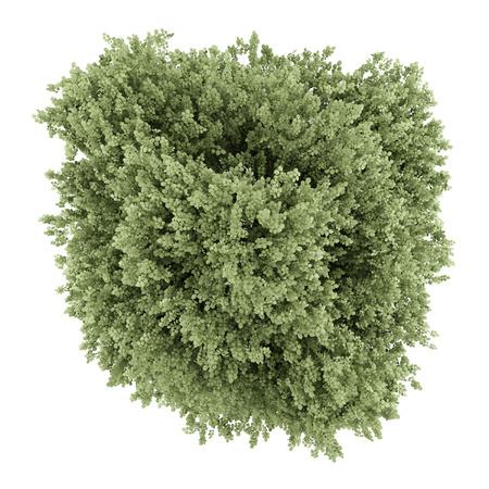 albero nocciola: vista dall'alto di albero comune nocciolo isolato su sfondo bianco