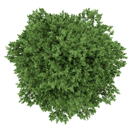 top view of large-leaved lime tree isolated on white background