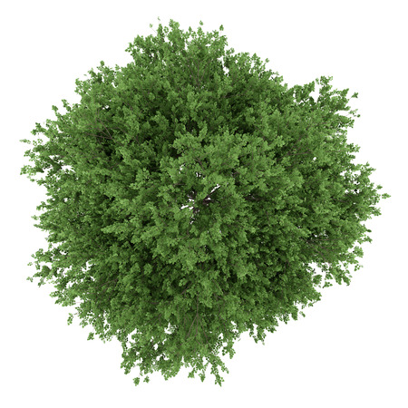 single tree: top view of large-leaved lime tree isolated on white background