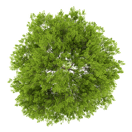tree top view: top view of maidenhair tree isolated on white background