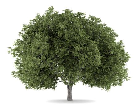 salix fragilis: crack willow tree isolated on white background