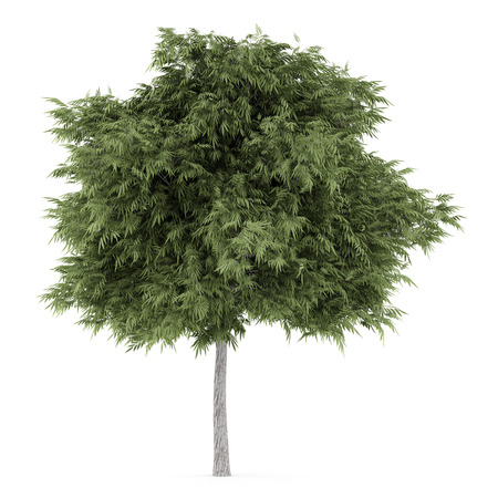 crack willow: crack willow tree isolated on white background