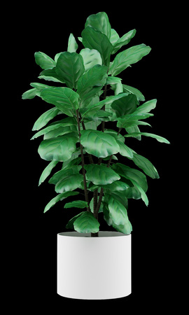 ficus: potted ficus plant isolated on black background Stock Photo