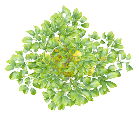 tree fruit: top view of potted lemon tree isolated on white background