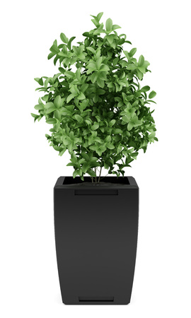 plant in black pot isolated on white background