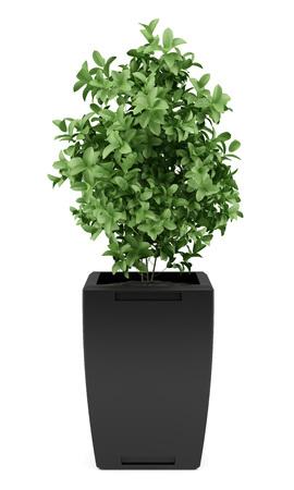 pianta in vaso nero isolato su sfondo bianco