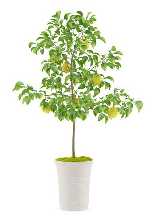白い背景で隔離の鉢植えのレモンの木