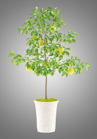 potted lemon tree isolated on gray background