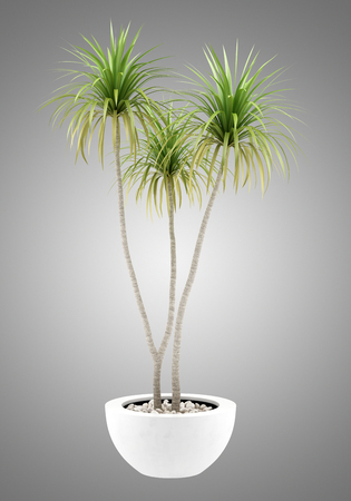 plant in pot: potted palm tree isolated on gray background