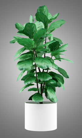 ficus: potted ficus plant isolated on gray background