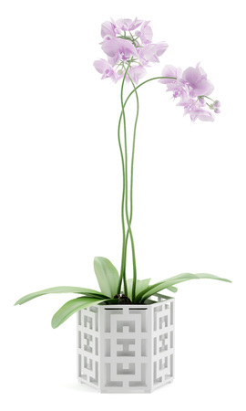 plant in pot: orchid flowers in pot isolated on white background