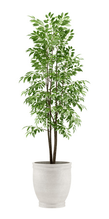 Potted plants: potted tree isolated on white background