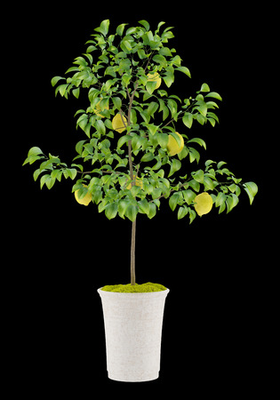 lemon tree: potted lemon tree isolated on black background Stock Photo