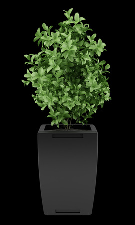 pot plant: plant in black pot isolated on black background