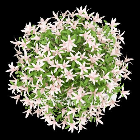 Vista dall'alto di albero in fiore in vaso isolato su sfondo nero Archivio Fotografico - 58282120
