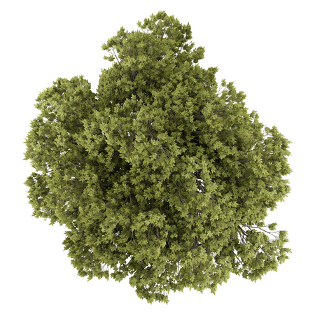 oak: top view of austrian oak tree isolated on white background. 3d illustration Stock Photo