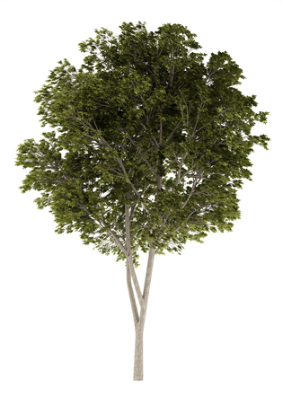 quercus: austrian oak tree isolated on white background. 3d illustration Stock Photo