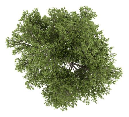 오스트리아 떡갈 나무의 상위 뷰 흰색 배경에 고립입니다. 3D 그림
