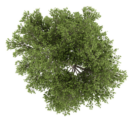quercus: top view of austrian oak tree isolated on white background. 3d illustration Stock Photo