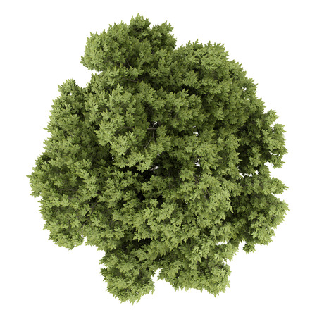 白い背景に分離されたオーストリアの樫の木の上から見る。3 d イラストレーション 写真素材