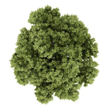 Vista dall'alto di quercia austriaca isolato su sfondo bianco. illustrazione 3D Archivio Fotografico - 59694378