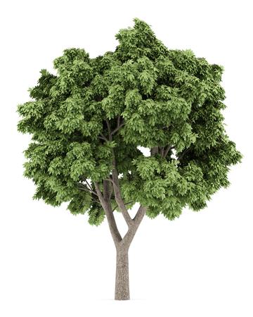 Bergahorn-Baum auf weißem Hintergrund. 3D-Darstellung Standard-Bild