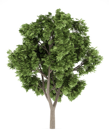 sycamore: Sycamore maple tree isolated on white background. 3d illustration