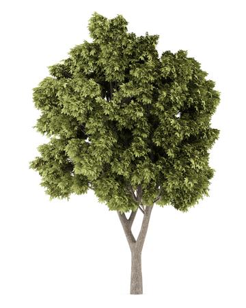 Gewone esdoorn boom op een witte achtergrond. 3d illustratie Stockfoto
