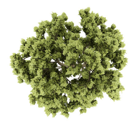 vista dall'alto di frassino bianco isolato su sfondo bianco. illustrazione 3D