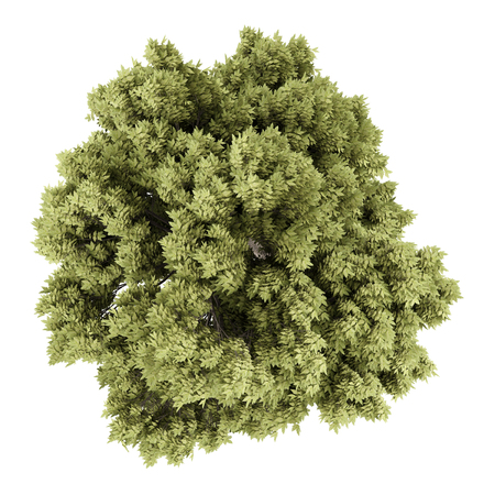 acer: top view of sycamore maple tree isolated on white background. 3d illustration