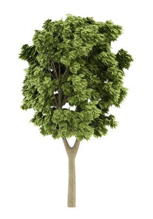 ash tree: white ash tree isolated on white background. 3d illustration Stock Photo