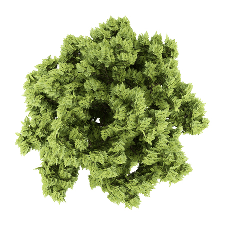 ash tree: top view of white ash tree isolated on white background. 3d illustration