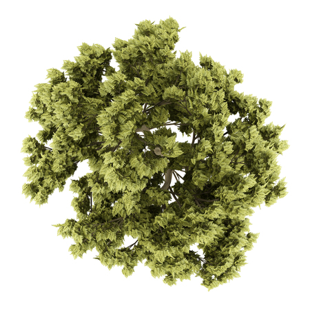 top view of white ash tree isolated on white background. 3d illustration
