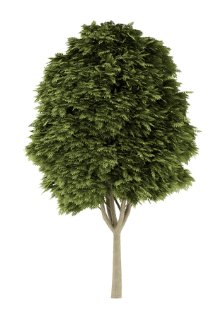 ash tree: common ash tree isolated on white background. 3d illustration Stock Photo