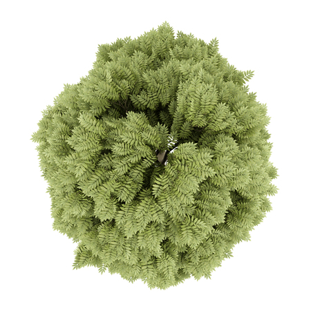 ashes: top view of common ash tree isolated on white background. 3d illustration Stock Photo