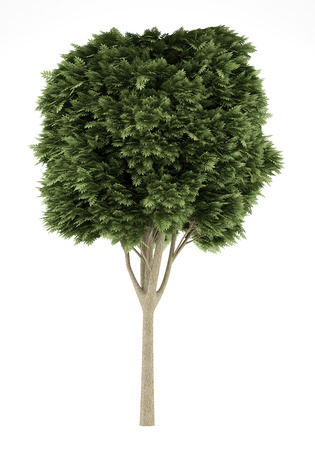 excelsior: common ash tree isolated on white background. 3d illustration Stock Photo