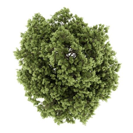 vista dall'alto di albero comune cenere isolato su sfondo bianco. illustrazione 3D