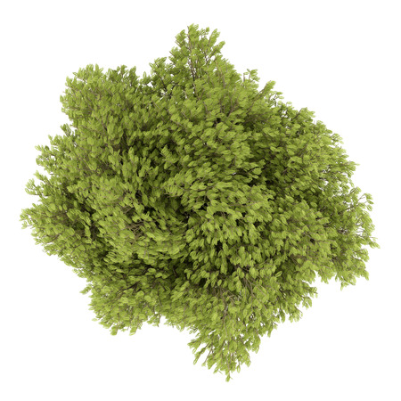 deciduous: top view of honey locust tree isolated on white background. 3d illustration