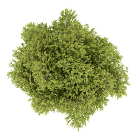 langosta: vista desde arriba del árbol de acacia aislado en el fondo blanco. 3d ilustración