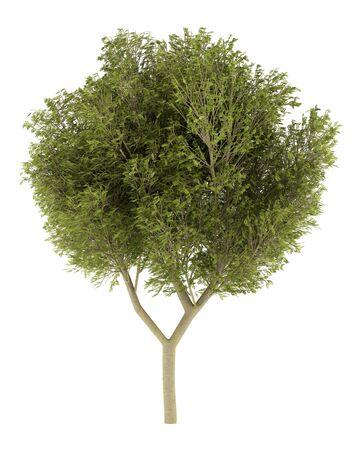 langosta: acacia de árboles aislados sobre fondo blanco. 3d ilustración Foto de archivo
