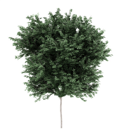 acer: field maple tree isolated on white background. 3d illustration