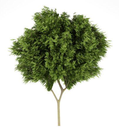 langosta: acacia de �rboles aislados sobre fondo blanco. 3d ilustraci�n Foto de archivo