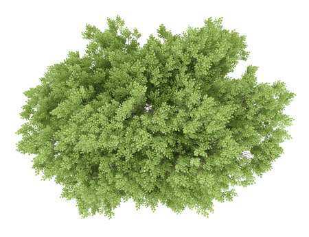 top view of common beech tree isolated on white background. 3d illustration Stock Photo