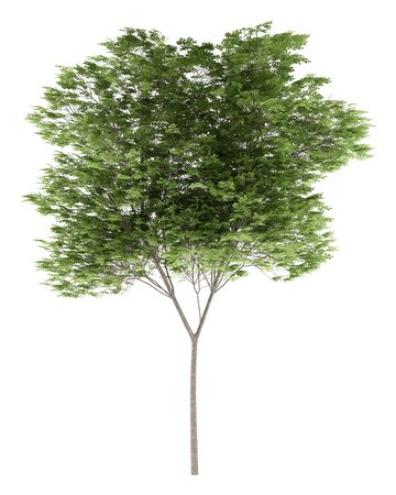illustration isolated: common beech tree isolated on white background. 3d illustration Stock Photo