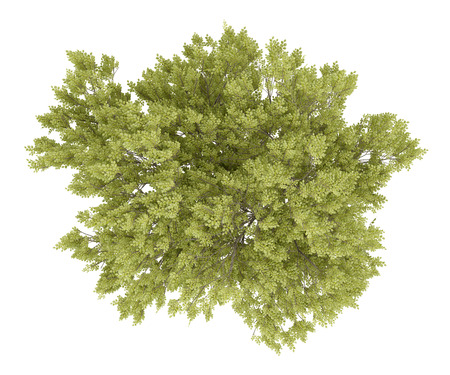 top view of common beech tree isolated on white background. 3d illustration Standard-Bild