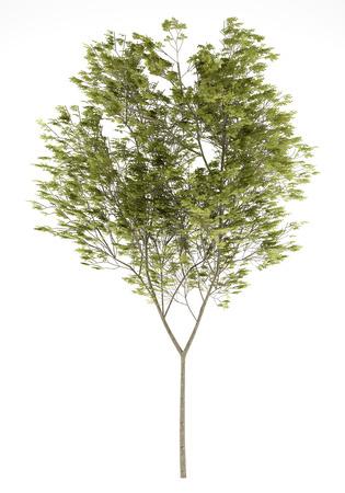 beech: common beech tree isolated on white background. 3d illustration Stock Photo