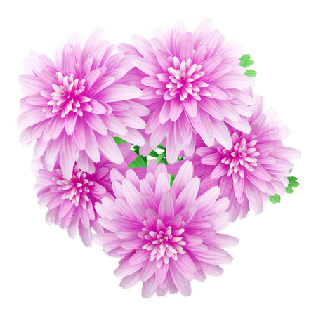 pink flower background: top view of pink chrysanthemum flower isolated on white background. 3d illustration